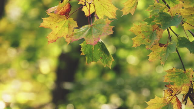 autumn leaves in forest - maple stock videos & royalty-free footage