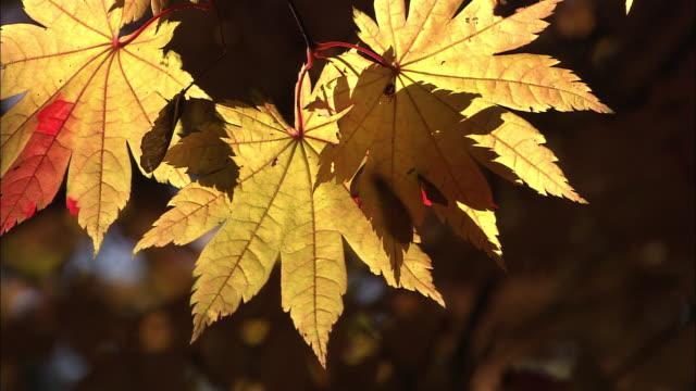 Autumn leaves in Hokkaido