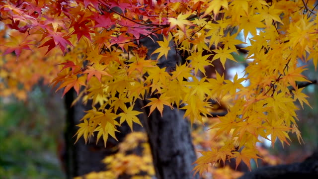autumn leaves in japan. - japanese maple stock videos & royalty-free footage