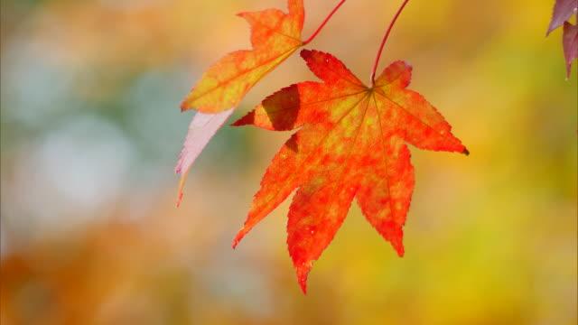 vídeos de stock e filmes b-roll de autumn leaves in kinsenkyo gorge, hokkaido - oscilar