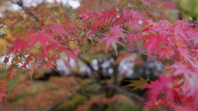 cu autumn leaves in kyoto / kyoto, japan - differential focus点の映像素材/bロール