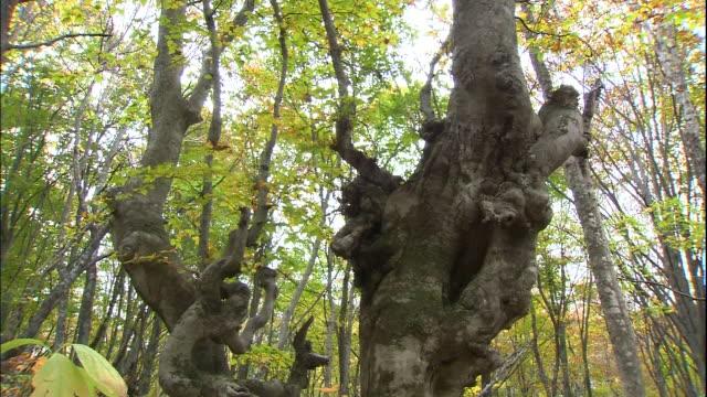 Autumn leaves litter the ground around gnarly Japanese beech trees on Mt. Chokai.