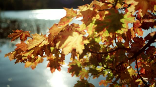 autumn leaves on a lakeshore - lakeshore stock videos & royalty-free footage