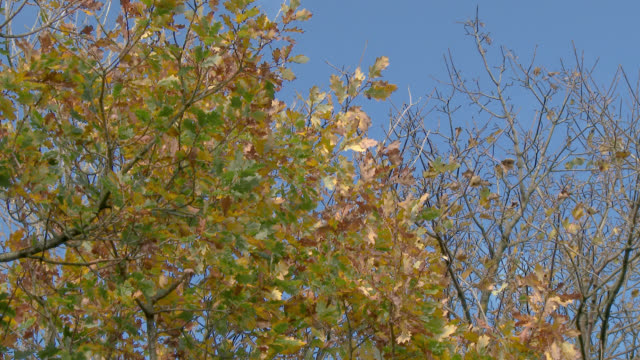 Autumn leaves on a tree blowing in the wind in south west Scotland