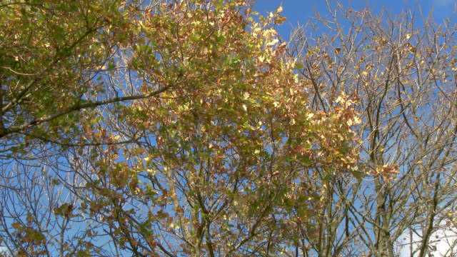 autumn leaves on a tree blowing in the wind in south west scotland - johnfscott stock videos & royalty-free footage