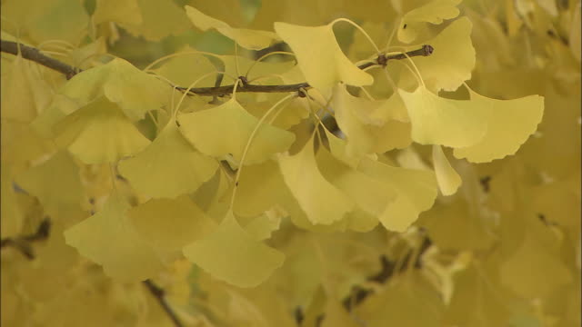 autumn leaves on ginkgo tree branches - ginkgobaum stock-videos und b-roll-filmmaterial