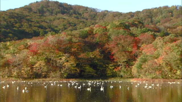 autumn leaves on mt. takadate reflected off the surface of oyama shimo-ike pond - water bird stock videos & royalty-free footage