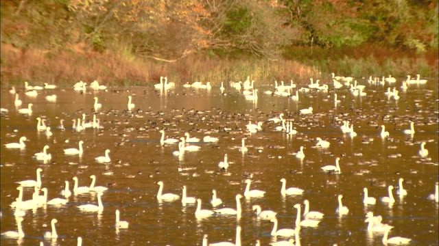 autumn leaves on mt.takadate and numerous tundra swans (cygnus columbianus) at rest on oyama shimo-ike pond - water bird stock videos & royalty-free footage