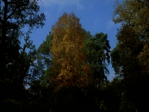 WA autumn leaves on silver birch tree surrounded by other trees, Westonbirt arboretum, Gloucester, England