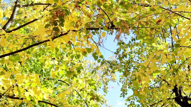 höstlöv på träden. - höstlöv bildbanksvideor och videomaterial från bakom kulisserna