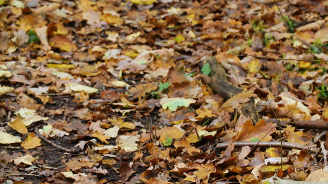 autumn leaves on woodland path - dry stock videos & royalty-free footage