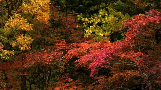 autumn leaves  souunkyou  momizidani - treetop stock videos & royalty-free footage