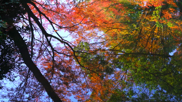 Autumn leaves trees reflect to the pond in Rikugien Garden (Traditional Japanese Garden) Bunkyo-ku Tokyo on December 03 2017.