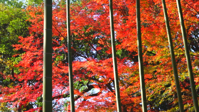 Autumn leaves trees stand behind the bamboo forest in Rikugien Garden (Traditional Japanese Garden) Bunkyo-ku Tokyo on December 03 2017.
