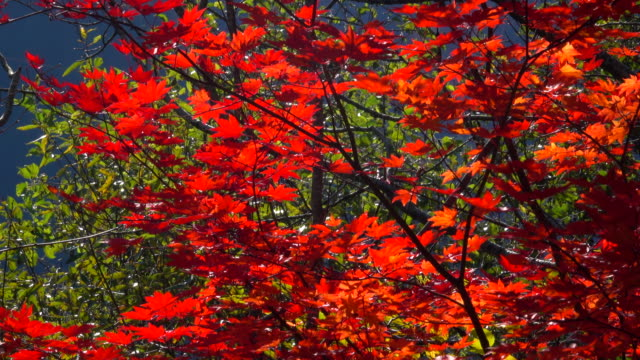autumn leaves - autumn leaf color stock videos and b-roll footage