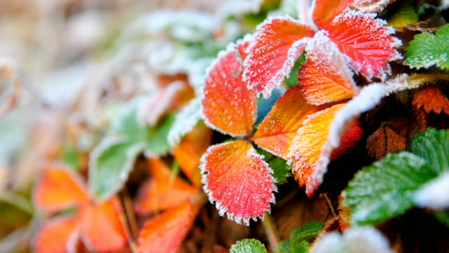 autumn leaves with frost - frost stock videos & royalty-free footage
