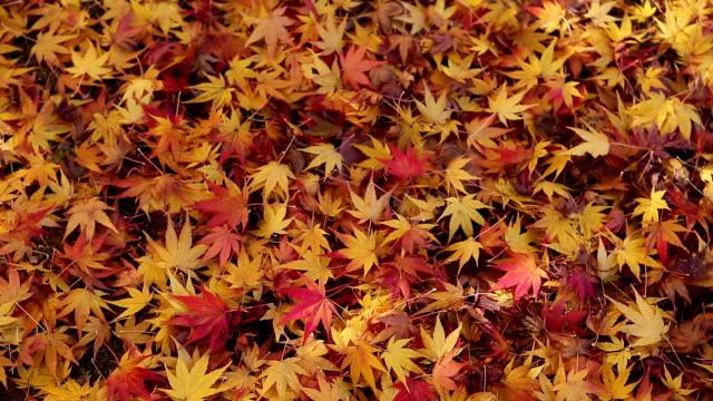 autumn maple leaves at yangjae citizen's forest / seocho-gu, seoul, south korea - 季節点の映像素材/bロール