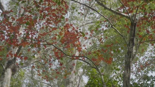 slo mo; autumn maple leaves blowing in the wind. - deciduous tree stock videos & royalty-free footage