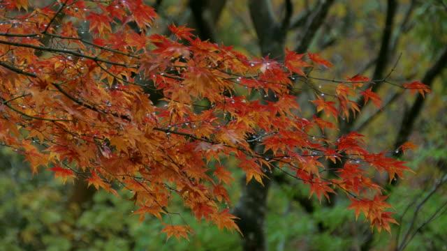 autumn maple leaves, hakone, kanagawa, japan - differential focus点の映像素材/bロール