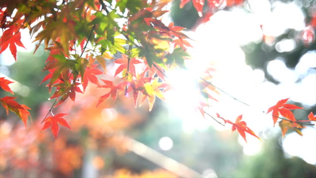 autumn maple leaves in lushan - maple stock videos & royalty-free footage