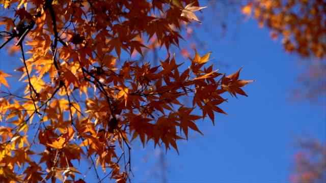 vídeos de stock, filmes e b-roll de folhas de bordo do outono em lushan - outono