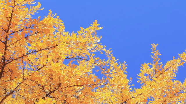 ms autumn maple leaves shaking by wind / toshima, tokyo, japan  - gruppo medio di animali video stock e b–roll