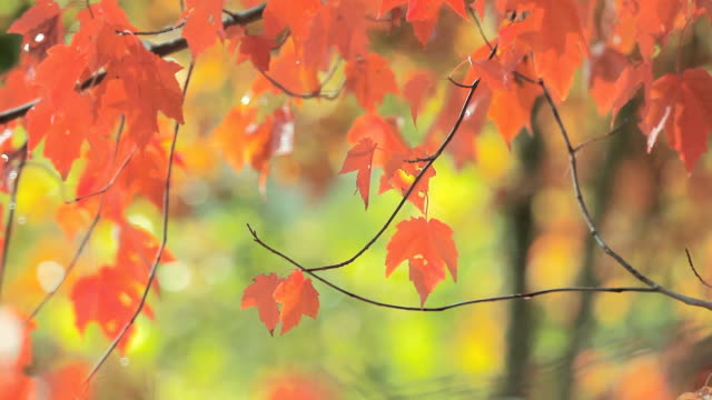 autumn maple leaves - 秋点の映像素材/bロール