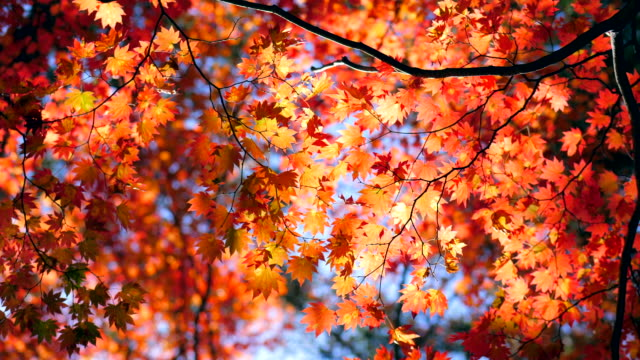 autumn maple leaves with blue sky - branch stock videos & royalty-free footage