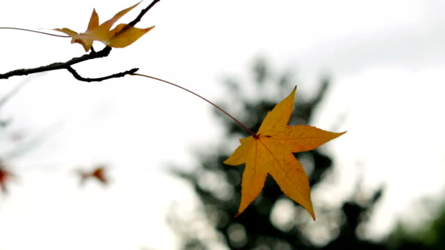 autumn nature scene - maple leaf stock videos and b-roll footage