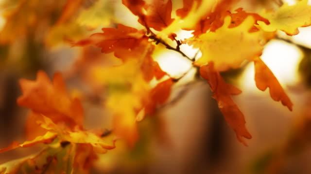 autumn oak leaves - oak tree stock videos and b-roll footage