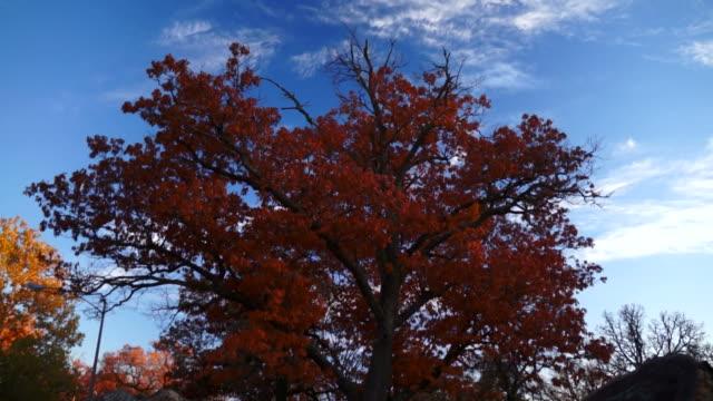 vidéos et rushes de automne oak se dresse contre le temps qui passe ciel - saison