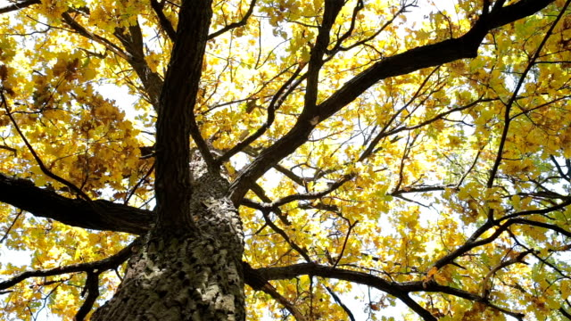 autumn. oak with yellow leaves. - directly below stock videos and b-roll footage