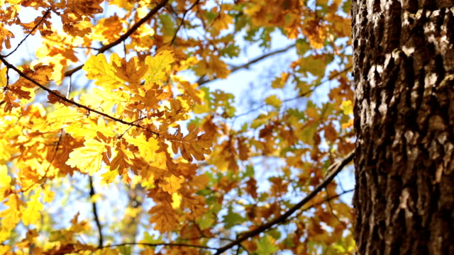 autumn. oak with yellow leaves. - plant bark stock videos and b-roll footage