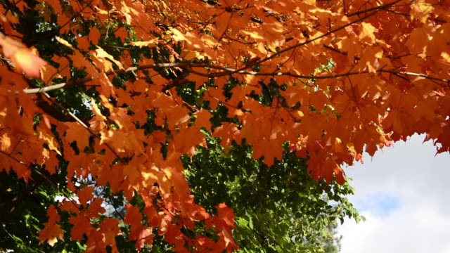 autumn or fall colors in tree leaves, canada - high contrast stock videos & royalty-free footage