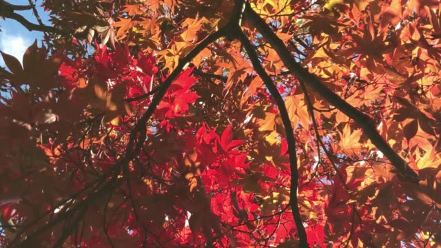 4k autumn red and orange maple background and copy space - maple leaf stock videos & royalty-free footage