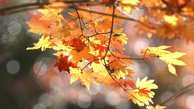 vidéos et rushes de 4k: automne rouge laisser à obara parc toyota nagoya au japon, apple prores 422 (hq) format de 3840 x 2160 - aménagement de l'espace