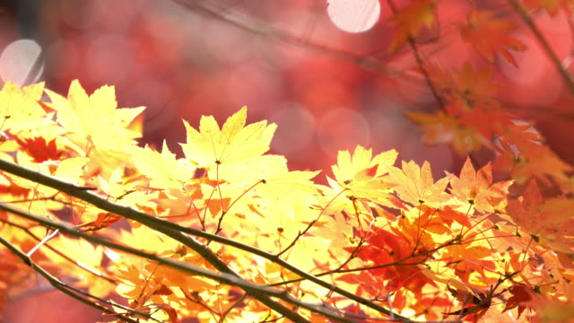 4k: autumn red leave at obara park toyota nagoya japan, apple prores 422 (hq) 3840x2160 format - autumn leaf color stock videos and b-roll footage