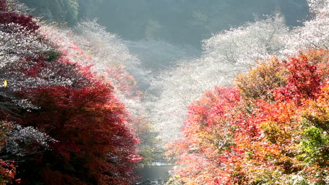 autumn red leave obara toyota nagoya japan - maple tree stock videos and b-roll footage