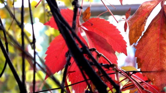 vídeos de stock, filmes e b-roll de folhas vermelhas de outono em parque público - trepadeira