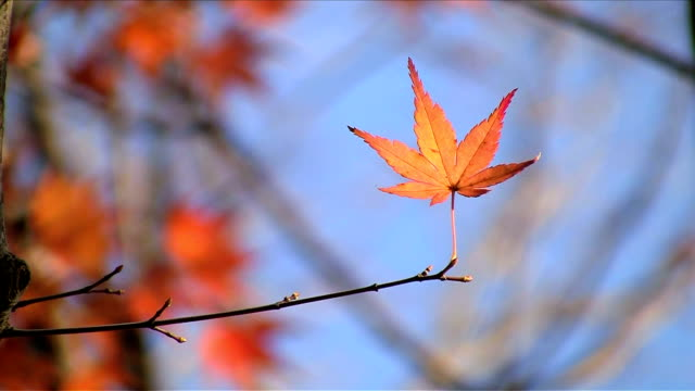 vídeos de stock, filmes e b-roll de folhas vermelhas de outono - plusphoto