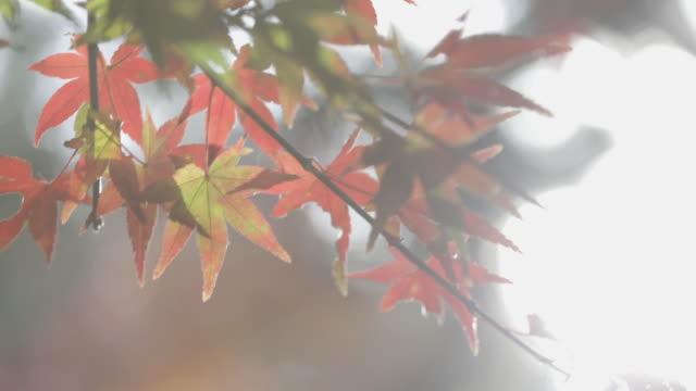 秋の赤いカエデの葉の背景 - 紅葉点の映像素材/bロール