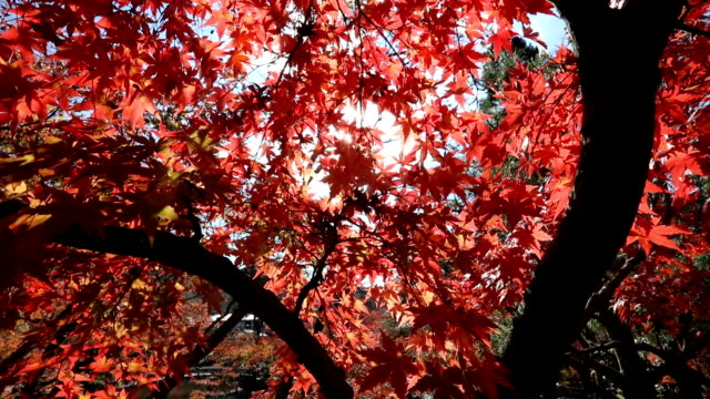 autumn red maple leaves - maple tree stock videos and b-roll footage