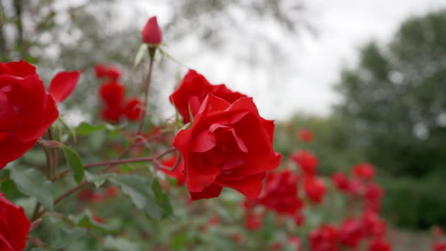 autumn red roses in my mums garden, blowing in the wind. - bush stock videos & royalty-free footage