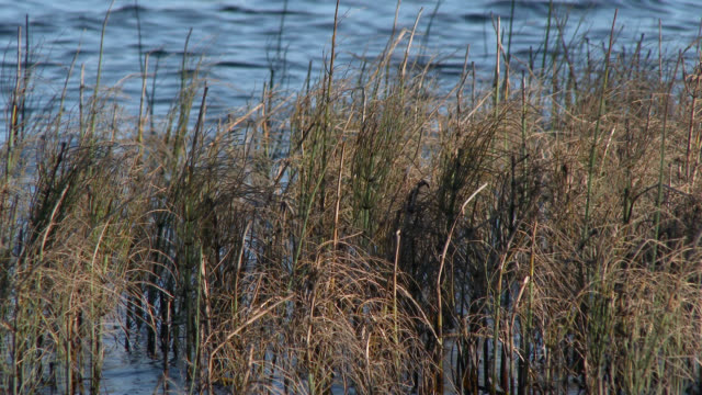 Autumn reeds blowing in the wind beside a loch in south west Scotland