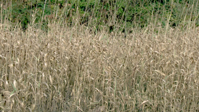 autumn reeds blowing in the wind in south west scotland - johnfscott stock videos & royalty-free footage
