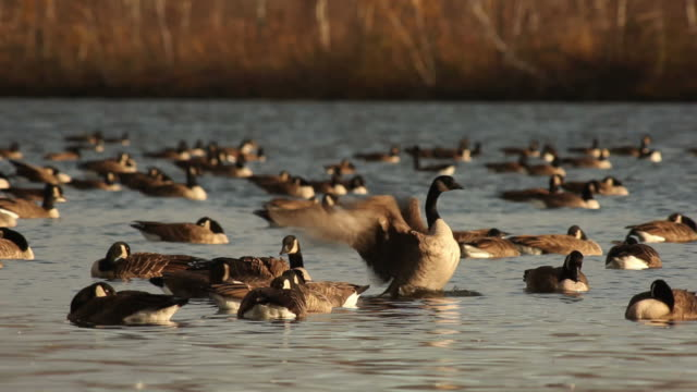 autumn scene: canadian geese - canada goose stock videos & royalty-free footage