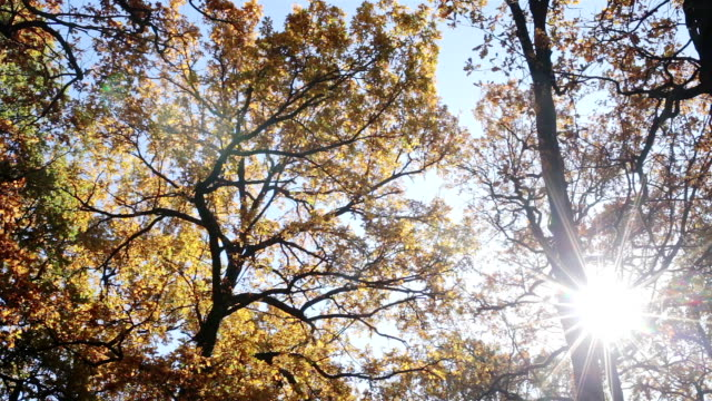 autumn. tops of trees with yellow leaves. - copertura di alberi video stock e b–roll