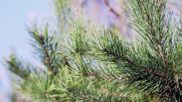 vídeos y material grabado en eventos de stock de ramas de árboles de otoño - aguja parte de planta
