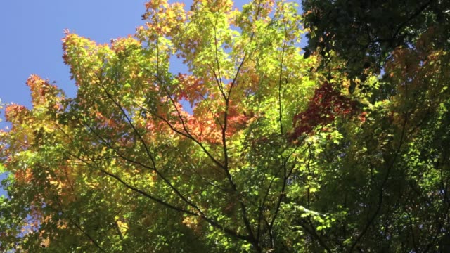 autumn tree turning fall foliage colors in the hudson valley - hudson valley stock videos and b-roll footage