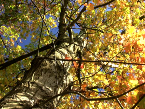 ntsc: autumn tree - saturated color stock videos and b-roll footage